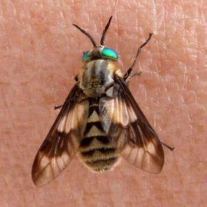 esemplare di Chrysops spp.