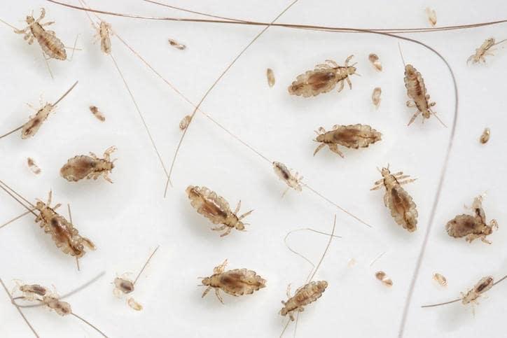 piccoli insetti marroni nei capelli