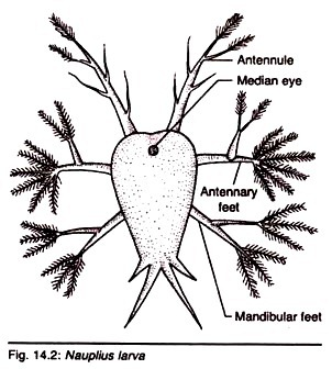 Larva nello stadio di Nauplius di Sacculina carcini.