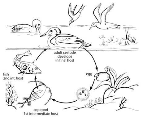 ciclo S. solidus
