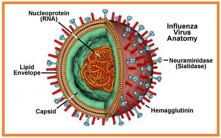 morfologia virus influenzale