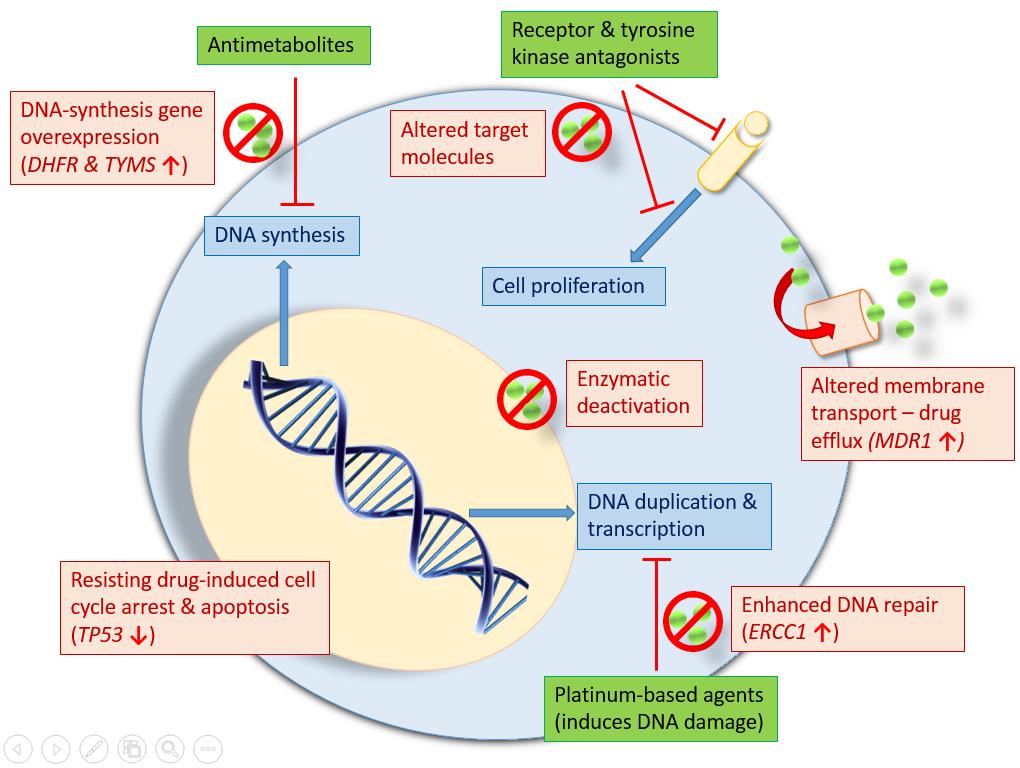 I linfociti T sono in grado di contrastare uno stimolo oncogenico molto temuto: il Papillomavirus.