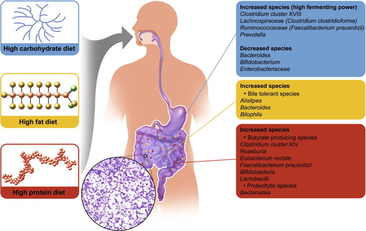 Figura 1 - Come la dieta può influenzare la crescita di alcuni ceppi batterici tratto da: Human Microbiome Journal Volume 1, September 2016, Pages 3-11Diet influence on the gut microbiota and dysbiosis related to nutritional disorders