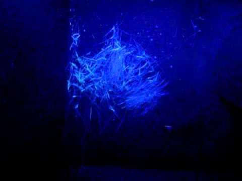 Tipica fluorescenza sotto lampada di Wood