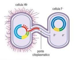 Illustrazione del funzionamento del plasmide F e delle cellule Hfr