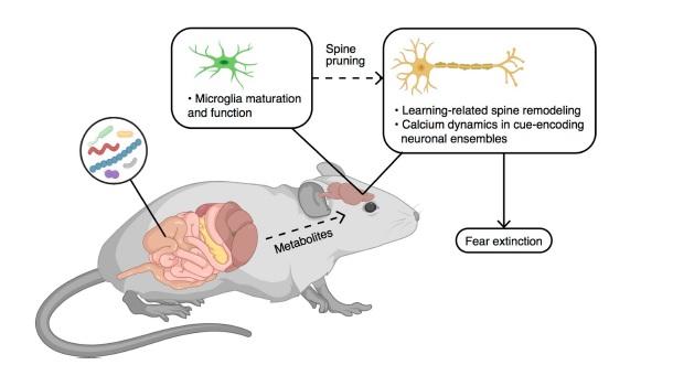 Rappresentazione schematica dell'asse cervello-intestino nel processo di apprendimento dell'estinzione della paura.