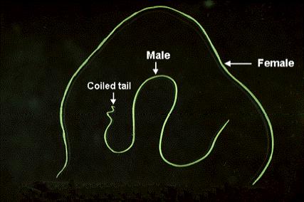 Differenze tra la femmina e il maschio di D. immitis. Si può notare nel maschio la coda elicoidale