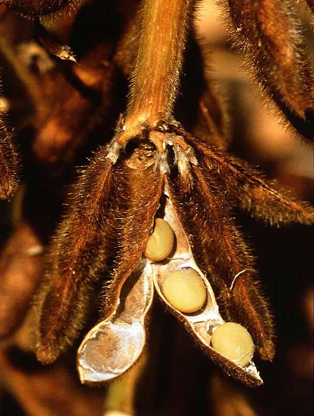 La soia viene notevolmente rafforzata contro stress abiotici da sinergie con funghi endofitici
