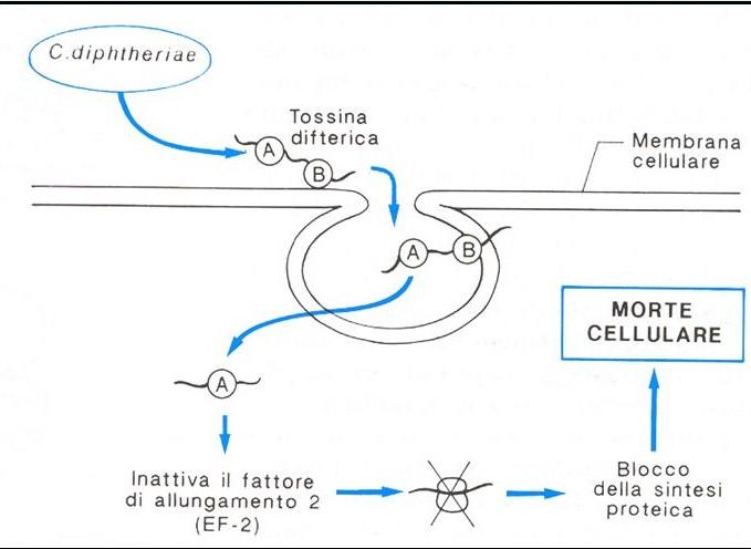 Meccanismo d'azione della tossina difterica