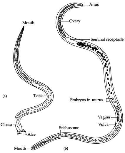 Differenze tra una femmina (B) e un maschio (A) di Trichinella spiralis