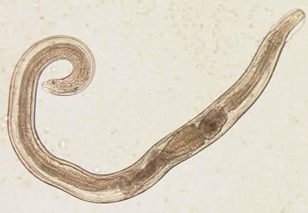 comprimate pentru viermi la 10 kg tratament eficient pentru helminți