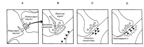 Meccanismo d'azione della tetanospasmina