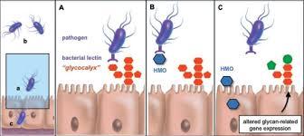 Gli HMO sono in grado di impedire l'attacco di agenti patogeni e tossine alle cellule epiteliali del tratto gastrointestinale