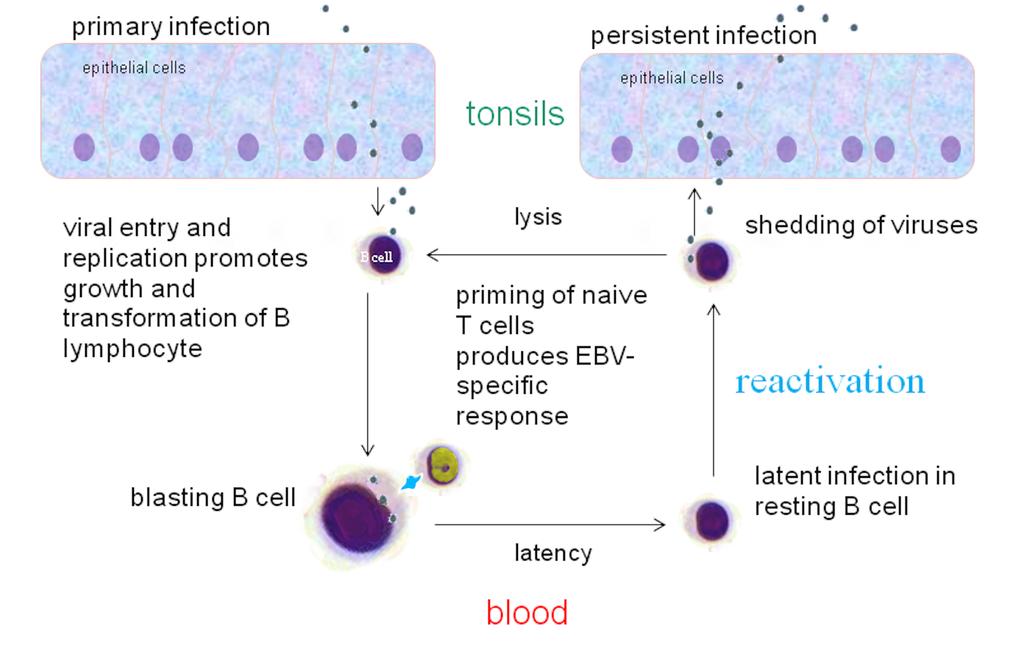 Ciclo di infezione e riproduzione del virus EBV