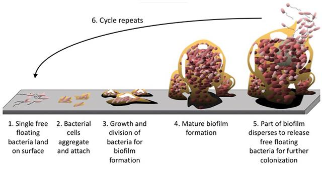 Processo di formazione di biofilm