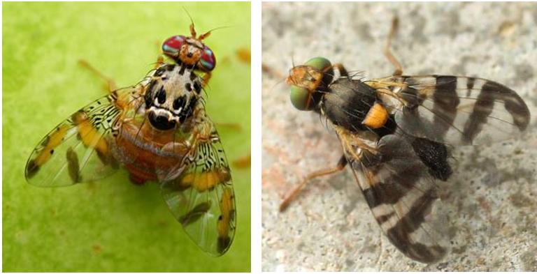 Figura 2: Nell'immagine a sinistra, adulto di Ceratitis capitata o Mosca mediterranea della frutta; a destra, adulto di Rhagoletis cerasi o Mosca del ciliegio.