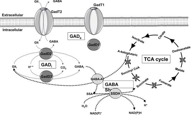 In Listeria monocytogenes, il sistema GAD ha molte e fondamentali funzioni.