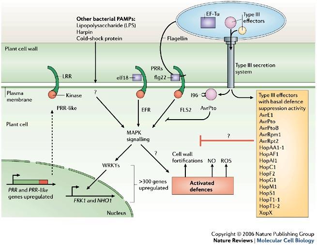modello di attivazione delle PRRs e relativa soppressione mediata dagli effettori di tipo III.