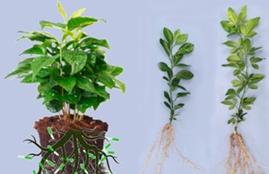 Differenza dello sviluppo tra una pianta trattata con Plant Growth Promoting Rhizobacteria e una pianta controllo.