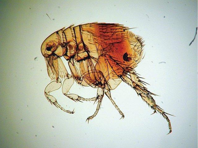 Xenopsylla cheopis, principale vettore di Y. pestis