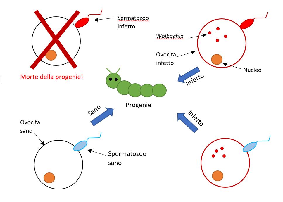 Schema rappresentativo del meccanismo di incompatibilità citoplasmatica
