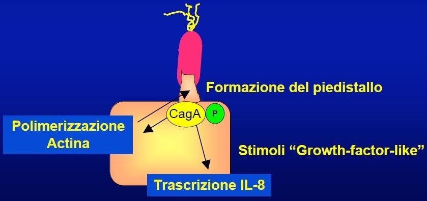 Meccanismo d'azione di CagA