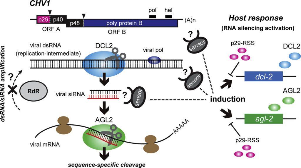 Figura 1 - silenziamento a RNA in Cryphonectria parasitica e soppressione. Interazione tra CHV1 e C. parasitica.