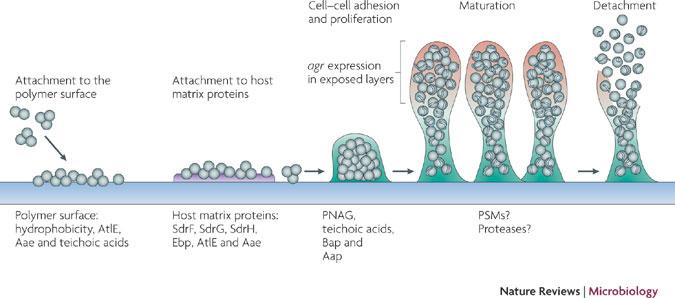 fasi di formazione del biofilm