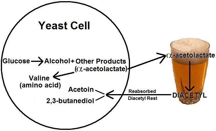 Diacetyl rest, schema del riassorbimento del diacetile