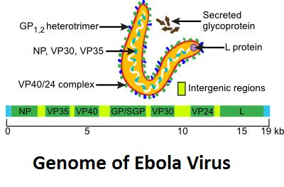 Genoma di EBOV e proteine strutturali del virus