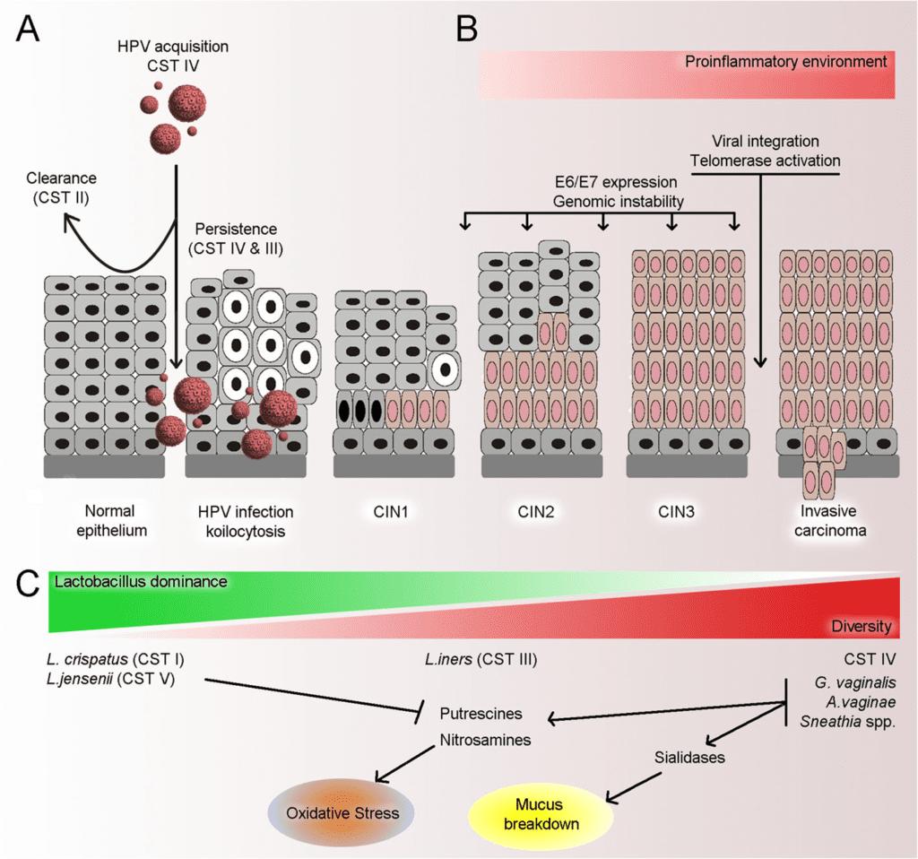 Schema riassuntivo dei potenziali meccanismi biologici alla base della relazione tra alterazione del microbiota vaginale e HPV.
