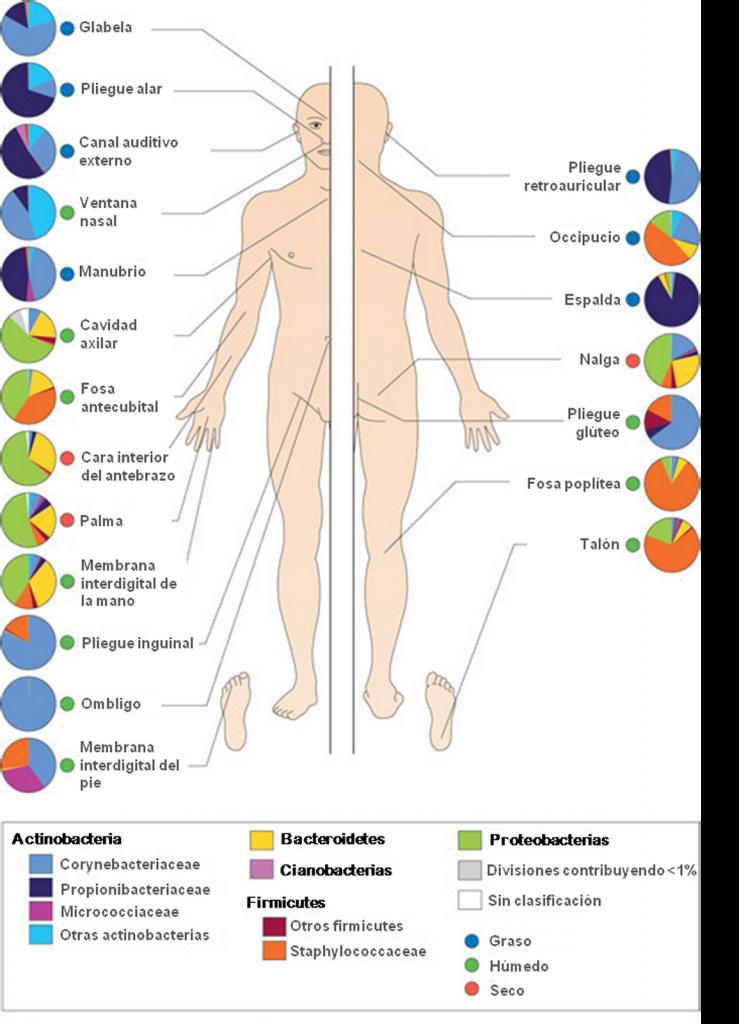 I microrganismi dimostrano una sede lettiva nei vari distretti cutanei della pelle dell´uomo.
