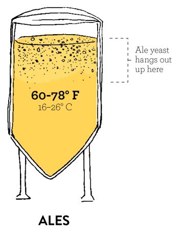Rappresentazione dell'alta fermentazione delle birre ale