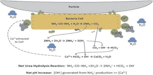 I batteri ureolitici fungono da sito di nucleazione per la formazione di CaCO3 in grado di unire granelli di sabbia (Fonte: DeJong et al., 2010)