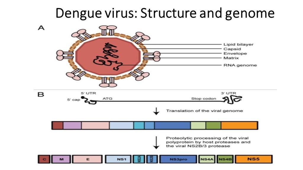 Struttura e genoma del virus Dengue