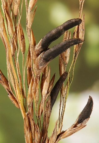 Sclerozi di Claviceps purpurea su spiga di avena.