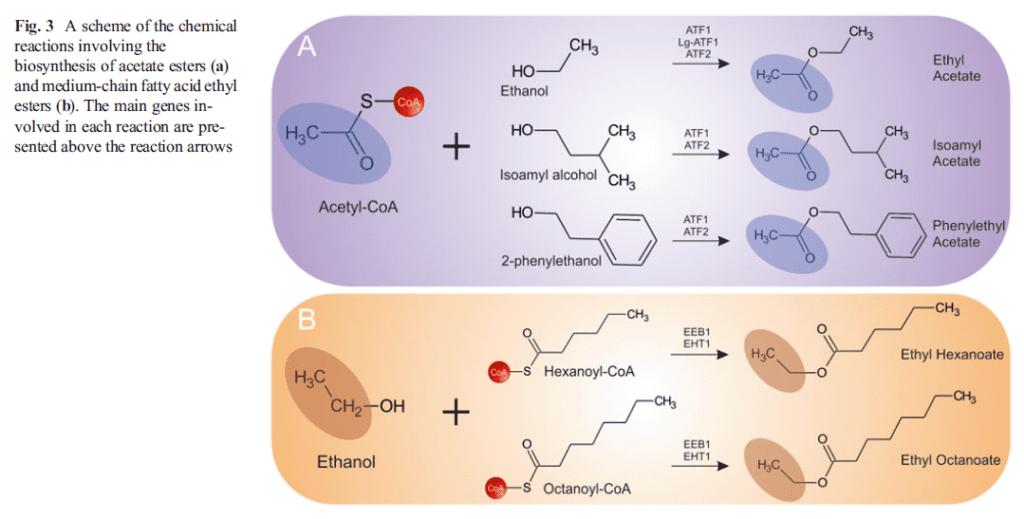 Reazioni di sintesi degli esteri acetati  e degli esteri degli acidi grassi a catena media