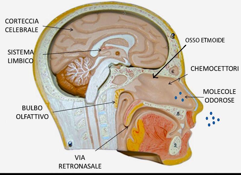 Senso olfatto anatomia e funzione