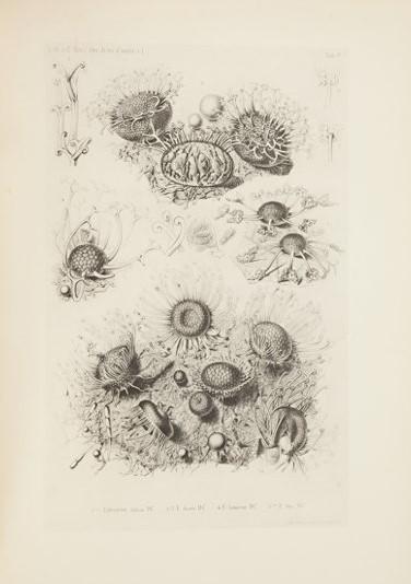 """Illustrazione di immagini al microscopio tratta da """"Selecta fungorum carpologia""""."""