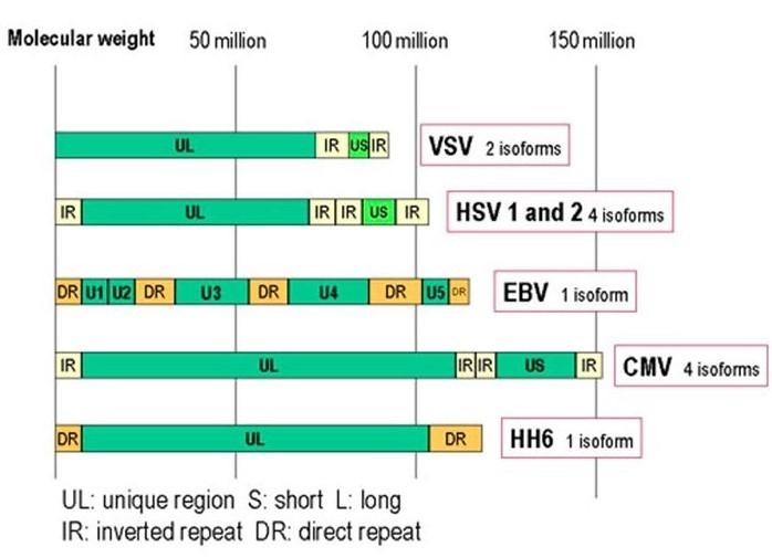 Organizzazione del genoma degli Herpesvirus (fig.1): Rappresentazione dei genomi di VZV (Virus della Varicella Zoster) con 2 isoforme, HSV 1 e 2 (Herpes Simplex Virus di tipo 1 e 2), EBV (Virus di Epstein-Barr) con 1 isoforma, CMV (Citomegalovirus) con 4 isoforme e HHV6 (Herpesvirus Umano 6) avente una sola isoforma.