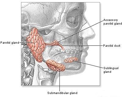 Localizzazione anatomica delle ghiandole parotidi, sublinguali e sottomandibolari sedi di replicazione virale