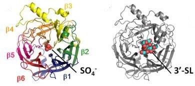 Glicoproteina HN. A sinistra viene illustrata la conformazione della glicoproteina costituita da  6 foglietti β, a destra, l'interazione dell'antirecettore virale con il suo recettore 3'-sialilattosio.