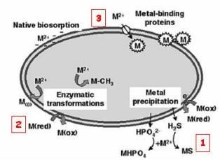Meccanismo di precipitazione dei metalli pesanti mediato dai microrganismi. Fonte: https://sites.google.com/site/paesaggioeambiente/1-inquinamento/bioremediation