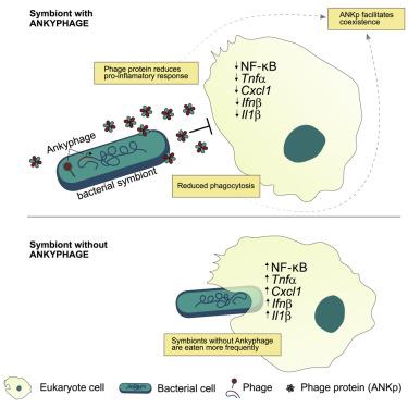 Rappresentazione della downregolazione della segnalazione pro-infiammatoria mediata da fagi