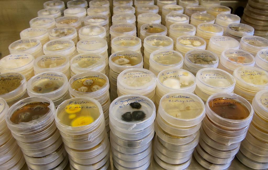 Colture pure isolate su piastre Petri