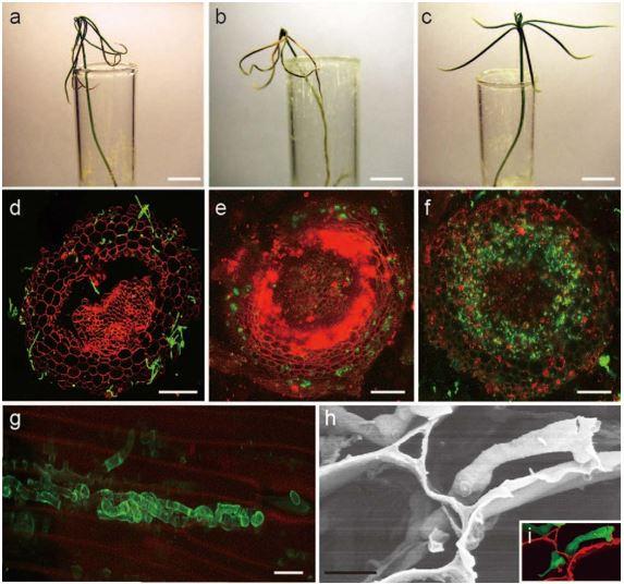 Figura 5 – Interazione patogenetica tra la N. crassa e le pianticelle di pino silvestre. Pianticelle inoculate con N. crassa (a), H. annosum (b), e controllo (c). d) Sezione trasversale della radice del pino inoculata con la N. crassa. Parete cellulare colorata con propidio ioduro, e ife fungine marcate con la lectina del grano. (e, f) Sezione trasversale della radice del pino inoculata con N. crassa esprimente la GFP; e) tre settimane dall'inoculazione, f) cinque settimane dall'inoculazione. g) Ife di N. crassa marcate con la lectina del grano nelle cellule della pianta ospite. h) Immagine al SEM delle ife di N. crassa che si sviluppano da una cellula della pianta a un'altra. i) Immagine al SEM colorata, il rosso e il verde indicano rispettivamente la parete cellulare della pianta e le ife del fungo.
