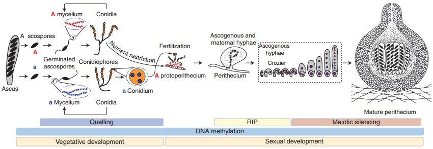 Ciclo della N. crassa con indicazione degli stadi in cui agiscono i tre meccanismi di silenziamento basati sull'RNA interference, Quelling, RIP e silenziamento meiotico.