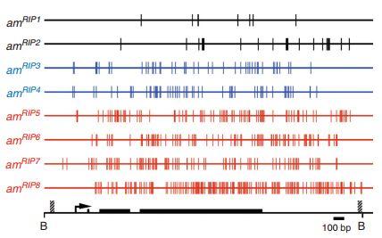 Mutazioni indotte da RIP su otto alleli di am. Le linee verticali indicano le mutazioni. Gli alleli neri sono quelli non metilati. Gli alleli azzurri sono quelli che inizialmente metilati ma, dopo trattamento con 5-azacitidina, non riacquisivano la metilazione. Gli alleli rosso sono quelli che non erano metilati all'inizio, ma che subivano la metilazione de novo.