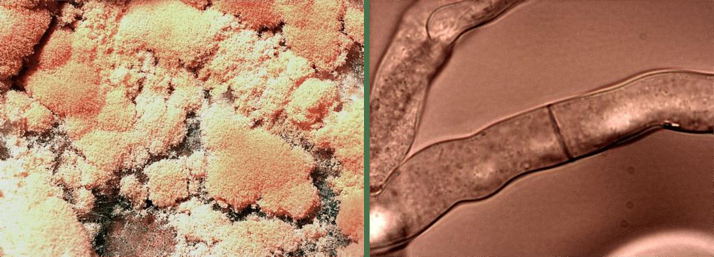 Aspetto macroscopico della N. crassa e ifa al microscopio ottico di N. crassa.