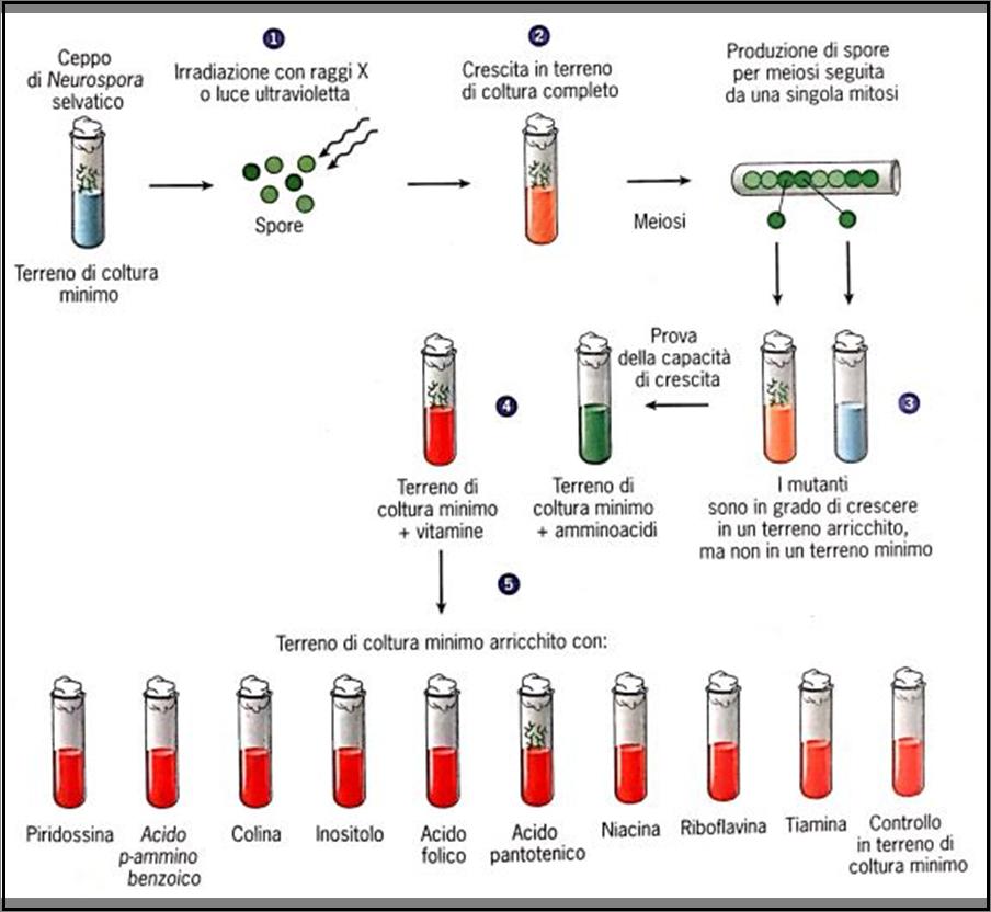 Rappresentazione schematica dell'esperimento di Beadle e Tatum.